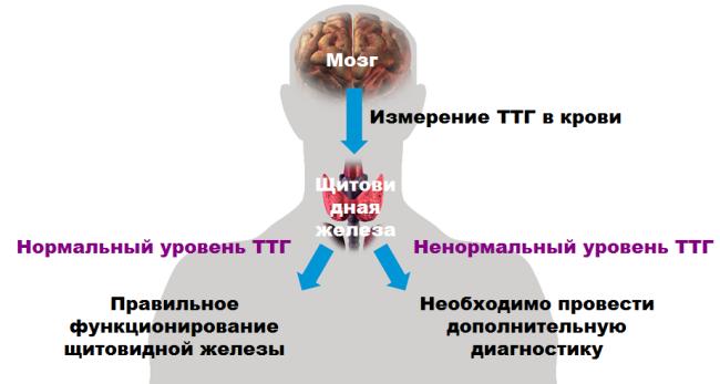 Tireotropnyj-gormon-shhitovidnoj-zhelezy