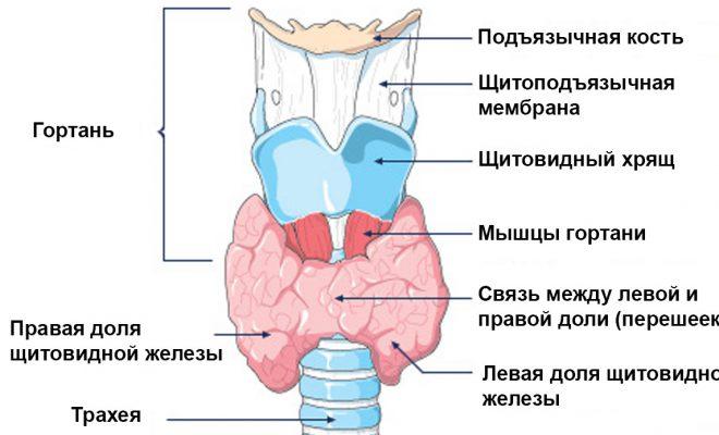 Строение щитовидной железы.