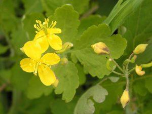 Чистотел - еще одна популярная трава для лечения.