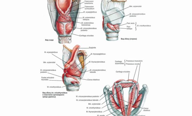 Гортанные мышцы