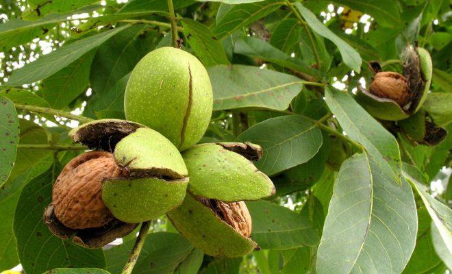 Внутренние перегородки, зеленая кожура и даже листья грецких орехов используют в народных рецептах лечения щитовидки.