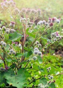 Листья лопуха используют в народной медицине для лечения заболевания.