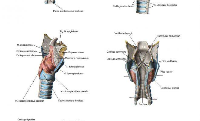 Мышци гортани