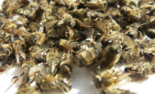 Настойка на пчелином подморе также положительно влияет на процесс лечение.