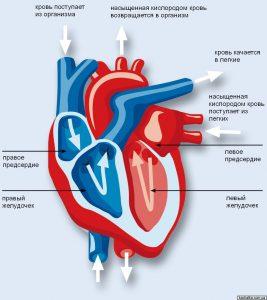 Вызывает нарушения в работе сердечно-сосудистой и других систем.