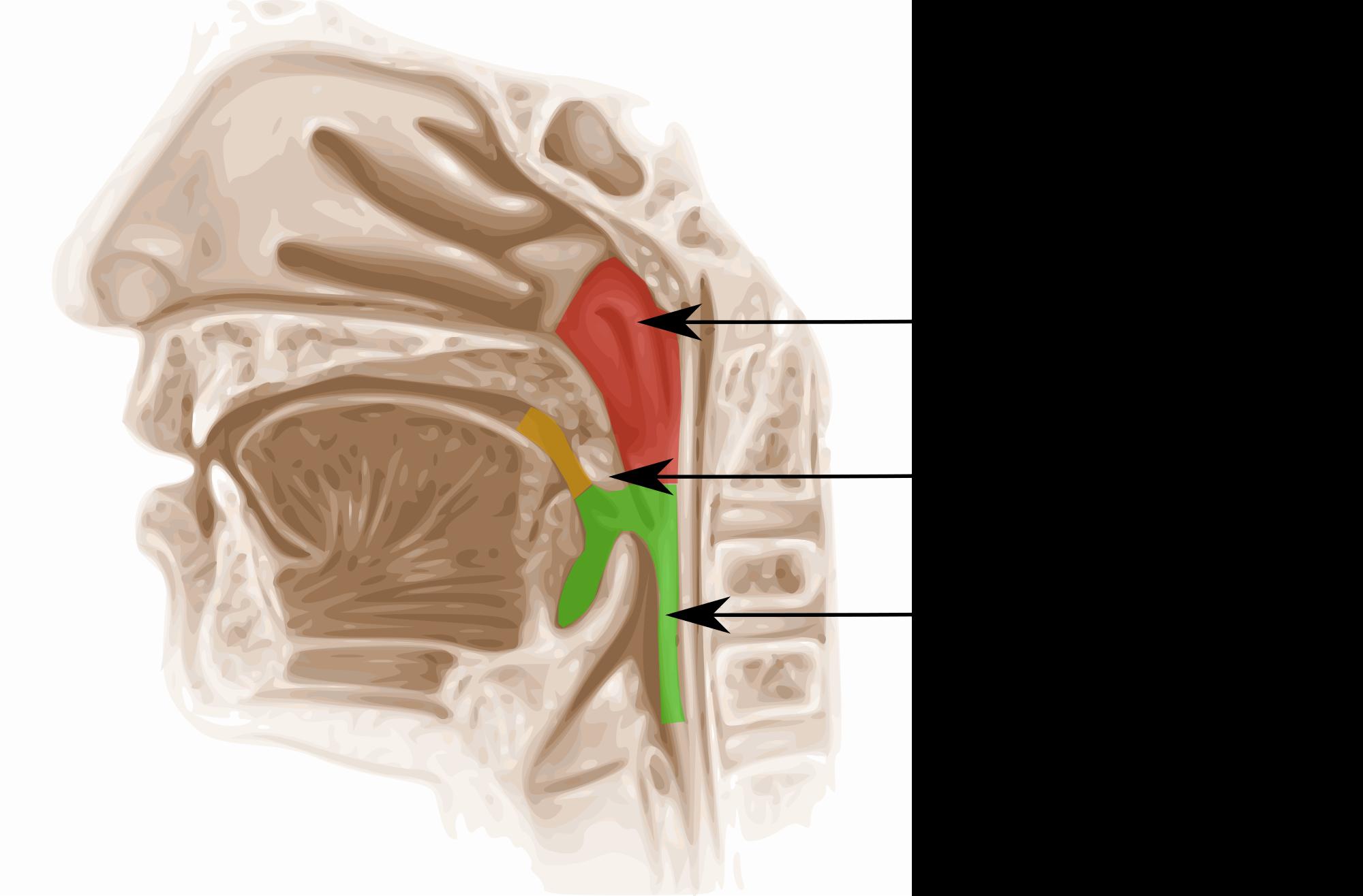 Строение глотки, носоглотки, ротоглотки